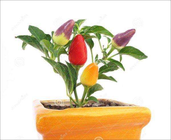 hạt giống ớt ngũ sắc