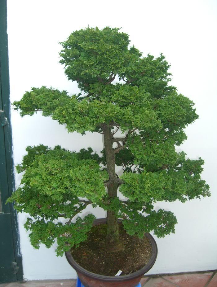 cây trắc bách điệp3