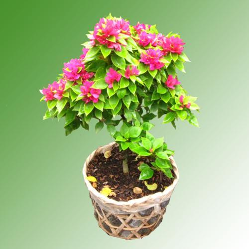 cây hoa giấy3