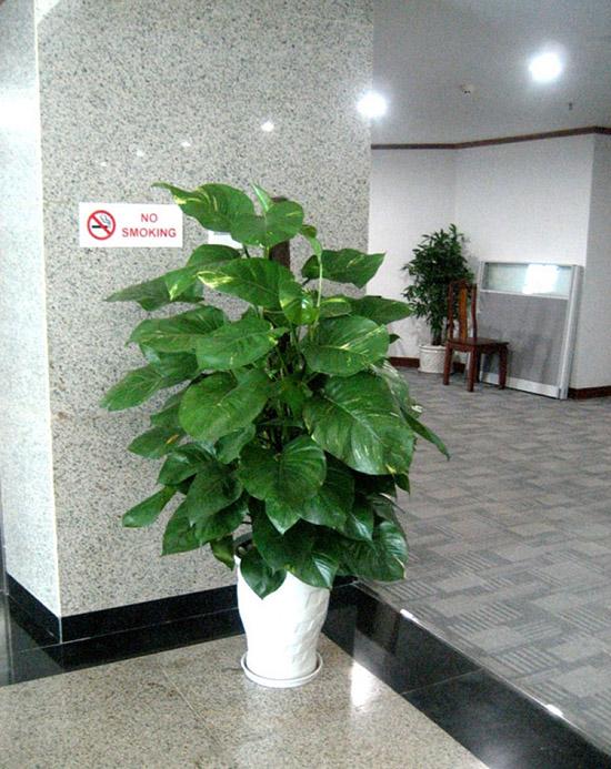 cây-vạn-niên-thanh-leo-cột