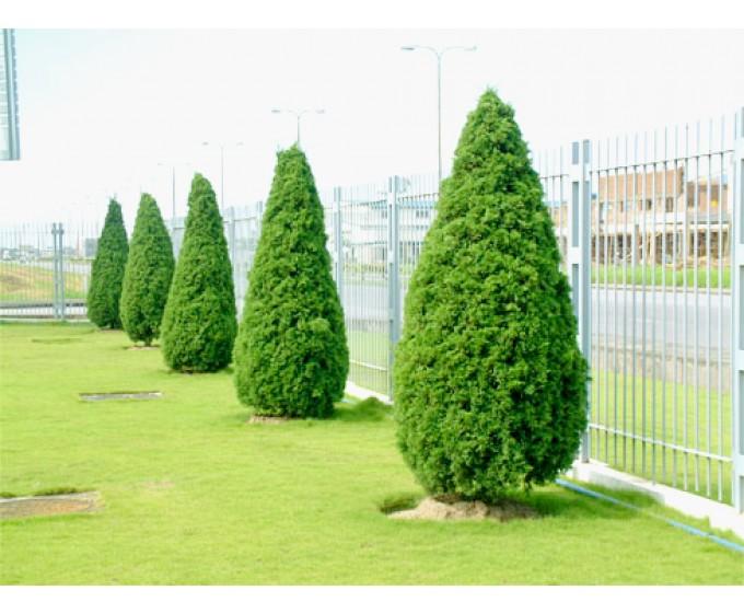 Những loại cây xanh làm hàng rào đẹp