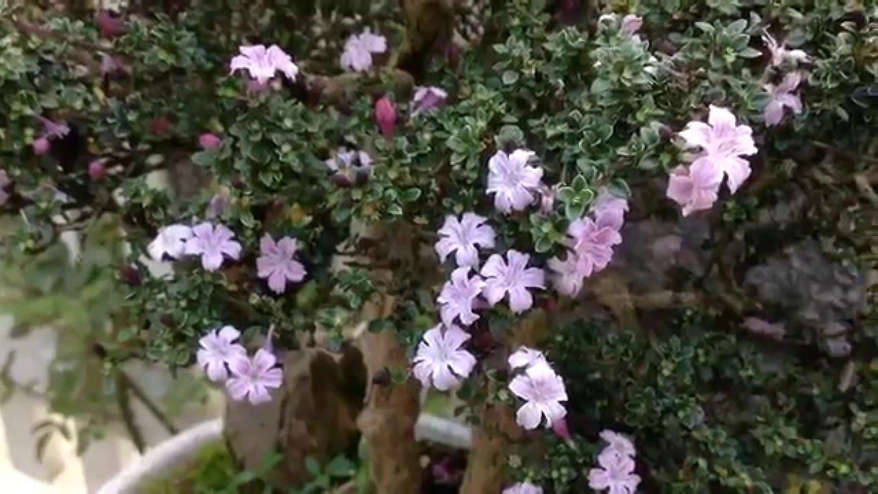 Cách trồng và chăm sóc cây tuyết mai cho hoa đẹp