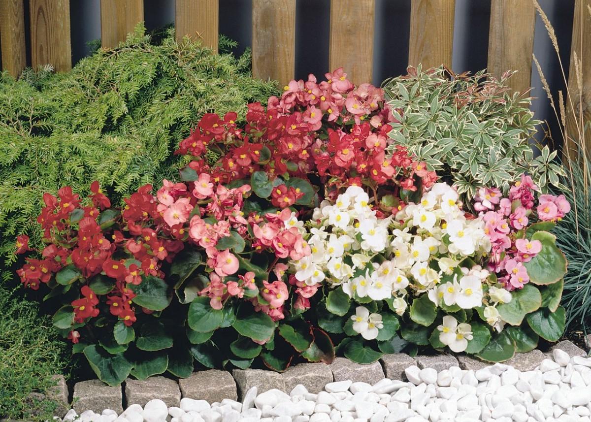 Hướng dẫn trồng và chăm sóc cây bông nho đỏ ra hoa cực đẹp