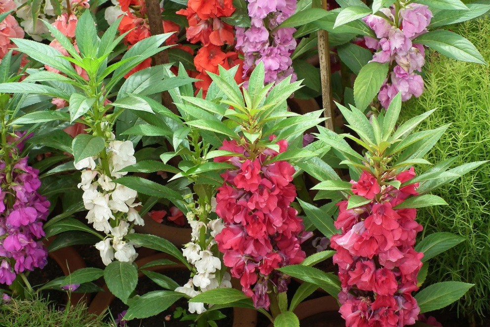 Cách trồng và chăm sóc cây hoa bóng nước