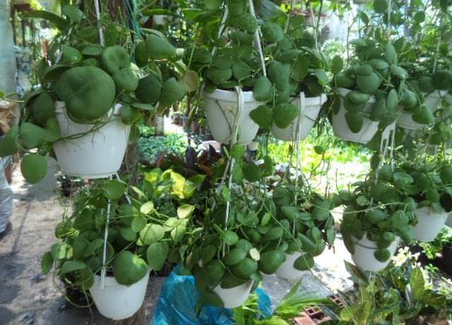 Cách trồng và chăm sóc cây đô la chậu treo