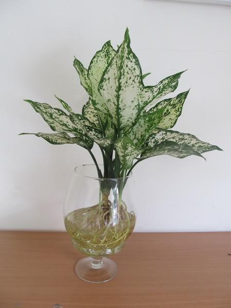 Cách trồng và chăm sóc cây ngọc ngân trong nước