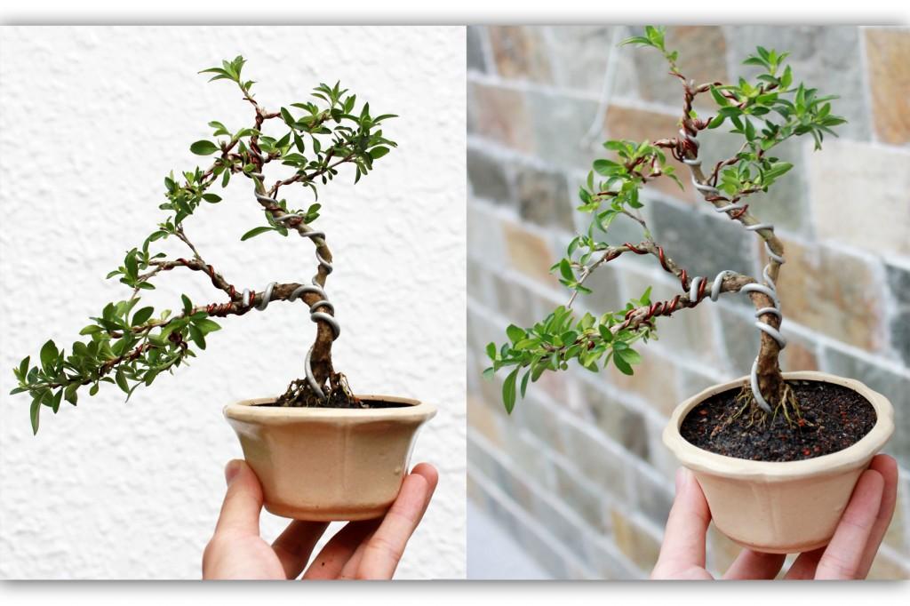 cay-bach-tuyet-mai-bonsai