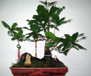 cay-canh-bonsai
