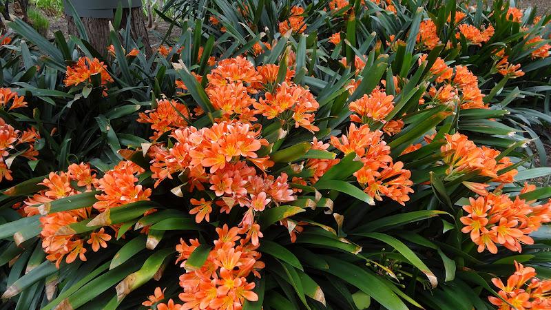 Cây Lan Quân Tử - loại hoa quý đẹp rực rỡ