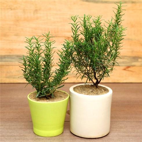 Cách trồng và chăm sóc cây hương thảo