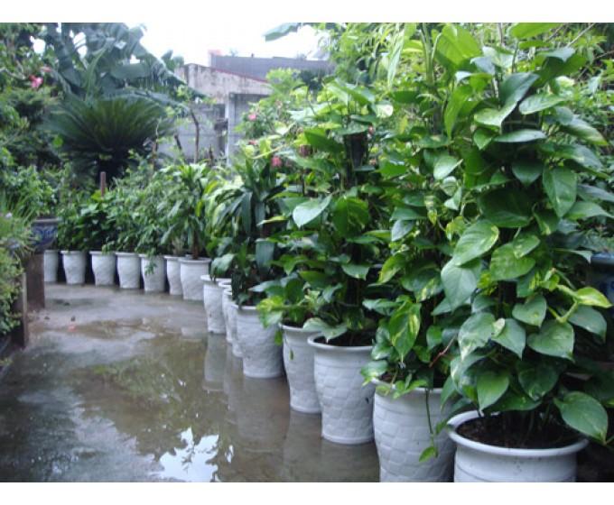 Kỹ thuật trồng và chăm sóc cây vạn niên thanh