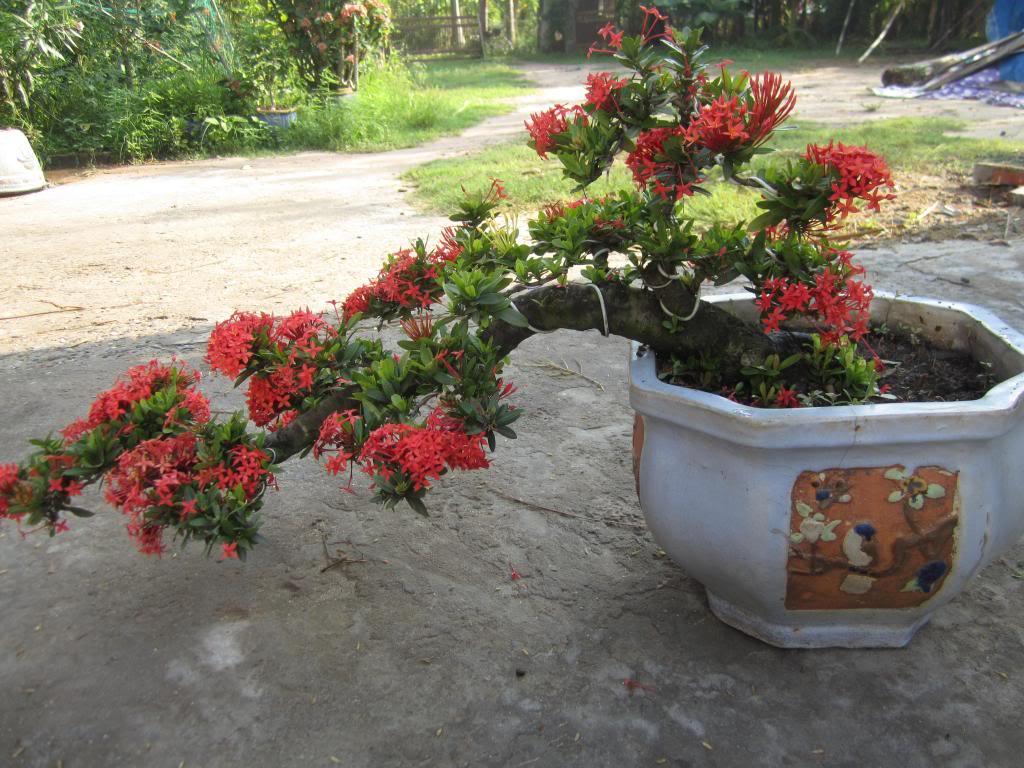 Tác dụng và cách trồng cây bông trang nở hoa tuyệt đẹp