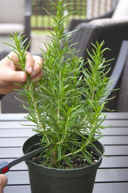 cây hương thảo đuổi muỗi1