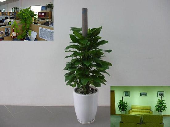 cho thuê cây vạn niên thanh cột2