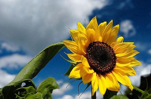 thơ về hoa hướng dương4