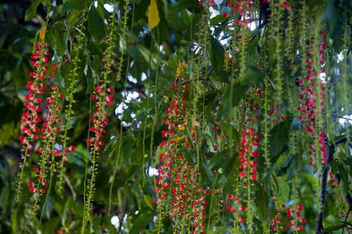 Cách trồng và chăm sóc cây lộc vừng cho hoa đẹp
