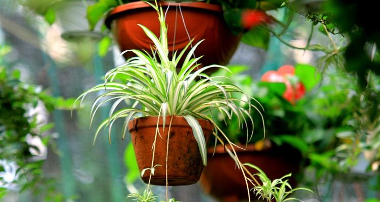 Cây dây nhện trồng trong nhà có lợi cho sức khỏe con người