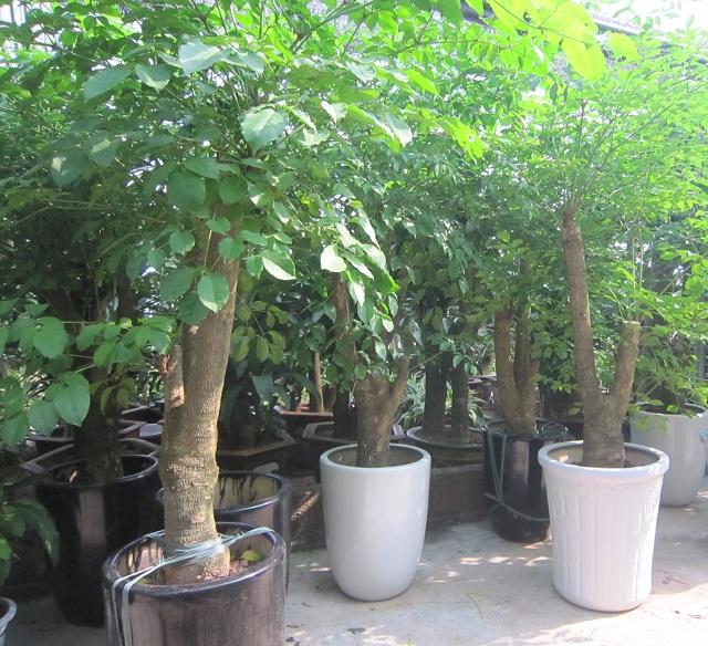 Cây hạnh phúc mua ở đâu? Cách trồng và chăm sóc chúng như thế nào?