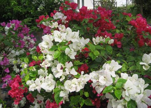 Cây hoa giấy mang vẻ đẹp bình dị