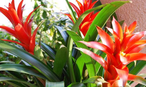 Cây phong lộc hoa có ý nghĩa gì, mua cây ở đâu?