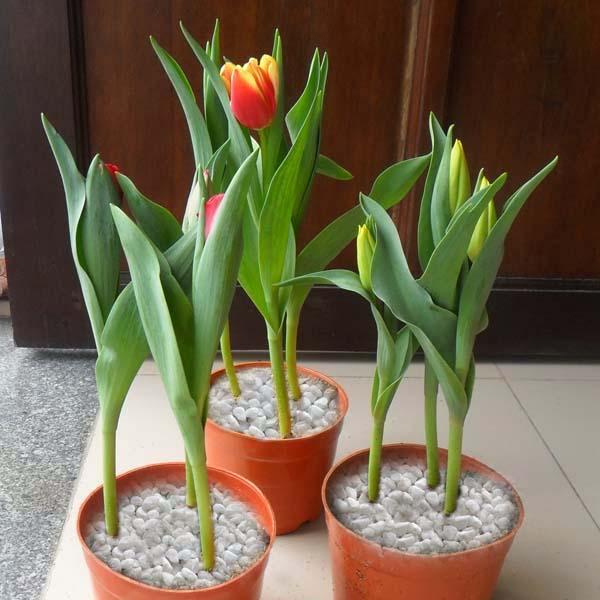 tuổi con trâu, tuổi sửu hợp với cây gì tulip