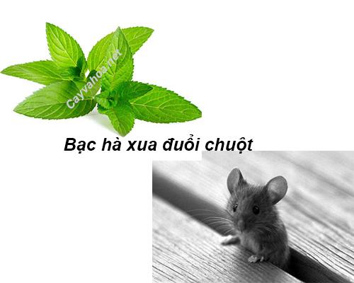 cây bạc hà xua đuổi chuột2