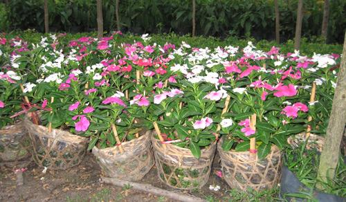Công dụng chữa bệnh của cây dừa cạn