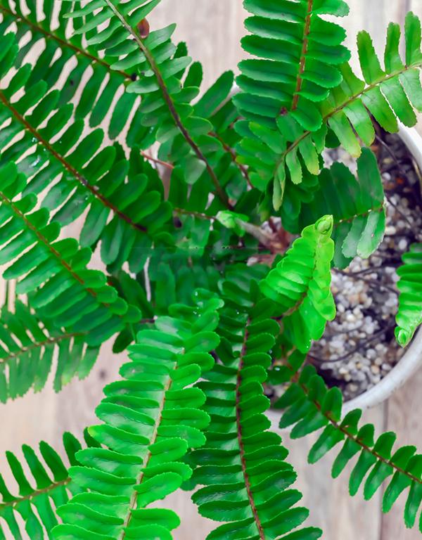 Cách chăm sóc cây dương xỉ 3