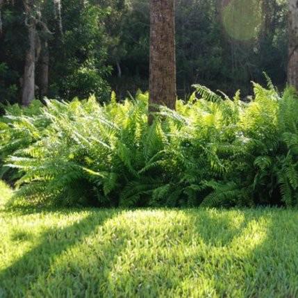 Cách chăm sóc cây dương xỉ 4