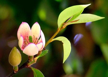 mệnh thổ hợp với cây gì hoa đàm tiếu