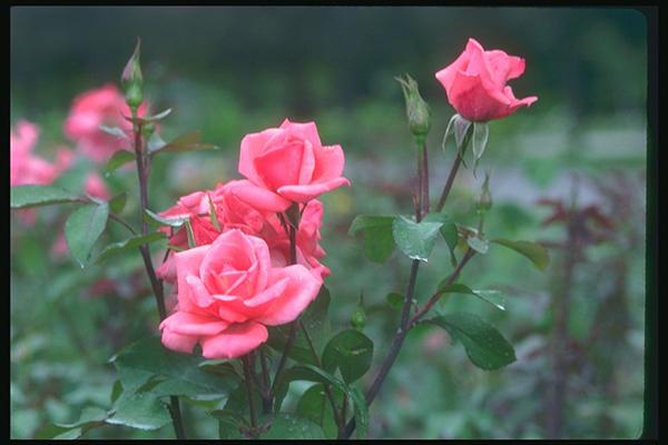 Tuổi con chuột, tuổi tý hợp với cây gì hoa-hong