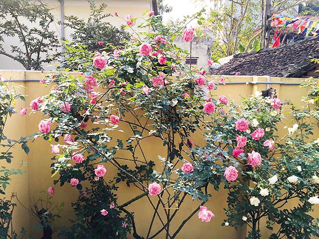 Hoa hồng cổ Sapa thu hút người chơi hoa