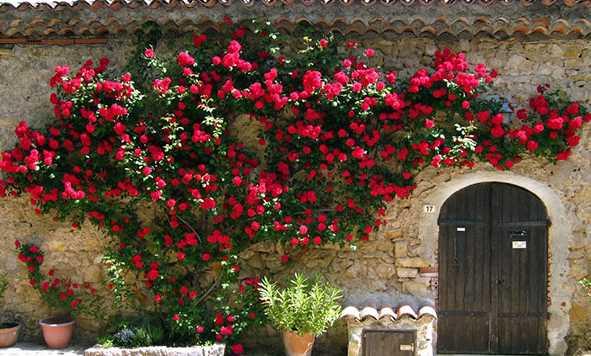 Những điều cần biết về hoa hồng leo