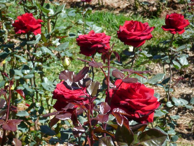 Say đắm với vẻ đẹp của hoa hồng nhung