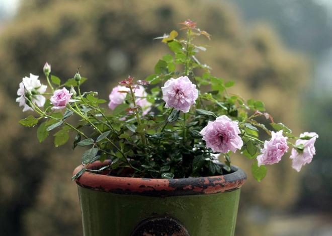 Ý nghĩa và cách chăm sóc hoa hồng tỉ muội trong chậu