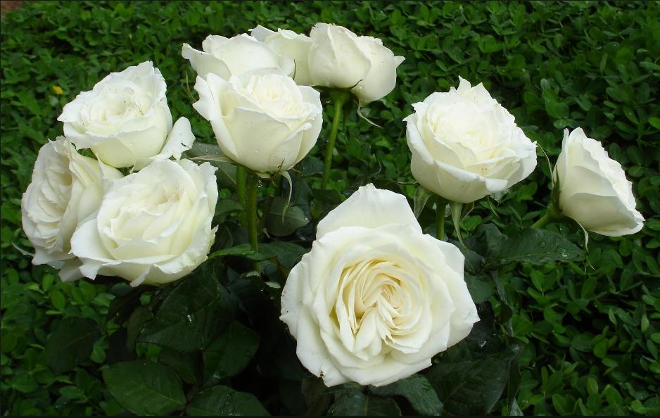 Hoa hồng trắng tinh khôi – loài hoa của ánh sáng