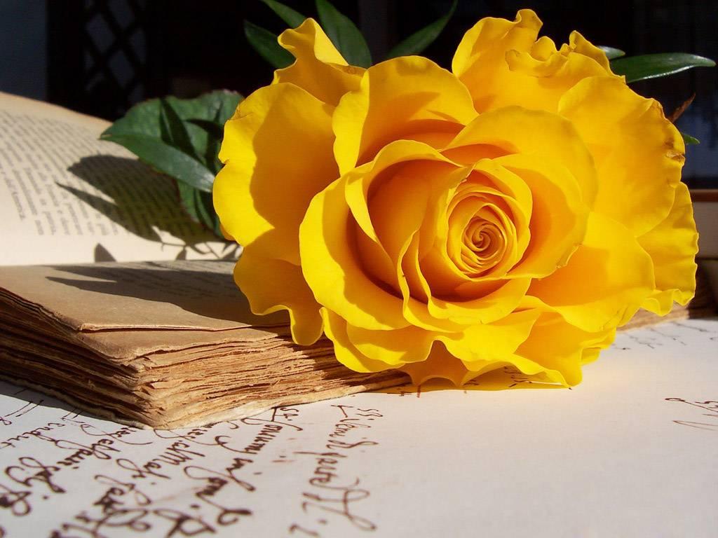 Hoa hồng vàng chân thành tin tưởng