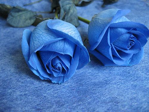 Hoa hồng xanh - hoa của tình yêu bất diệt
