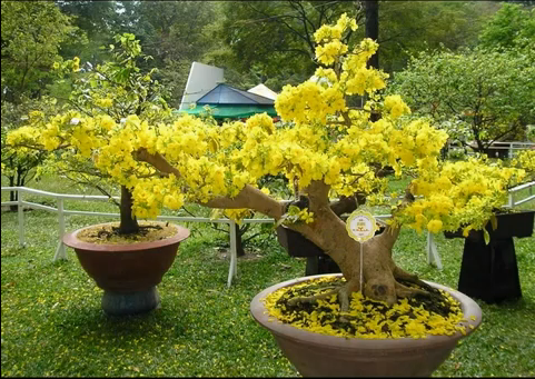 Mai vàng đầy sắc xuân mang tài lộc vào nhà