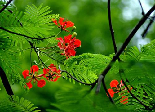 thơ về hoa phượng3
