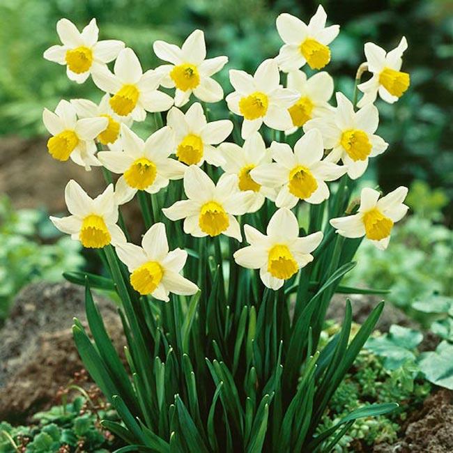 Cách trồng thủy tiên cho hoa đúng dịp