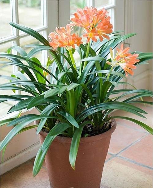 Hỏi đáp về cách trồng và chăm sóc cây lan quân tử
