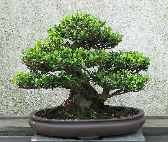 Mai chiếu thủy bonsai mini siêu đẹp