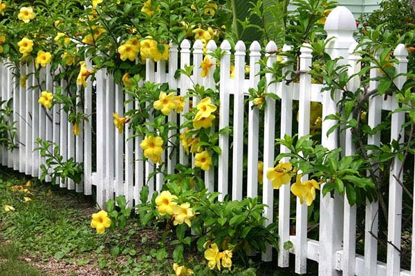 Mua cây huỳnh anh trồng hàng rào ở đâu?