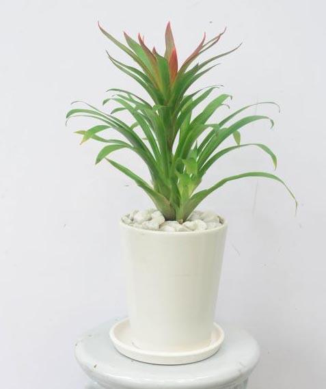 Cách chăm sóc cây phong lộc hoa4