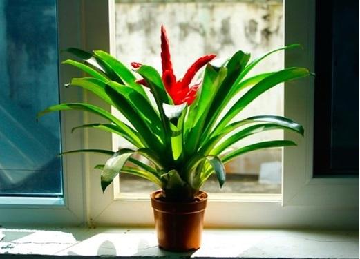 Cách chăm sóc cây phong lộc hoa3