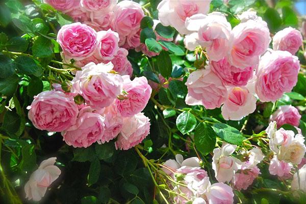 Tư vấn cách trồng hoa hồng leo cho hoa nhiều và đẹp