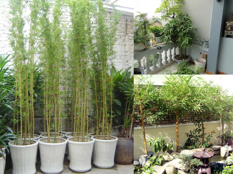 Nên trồng những loại cây phong thủy trước nhà nào?
