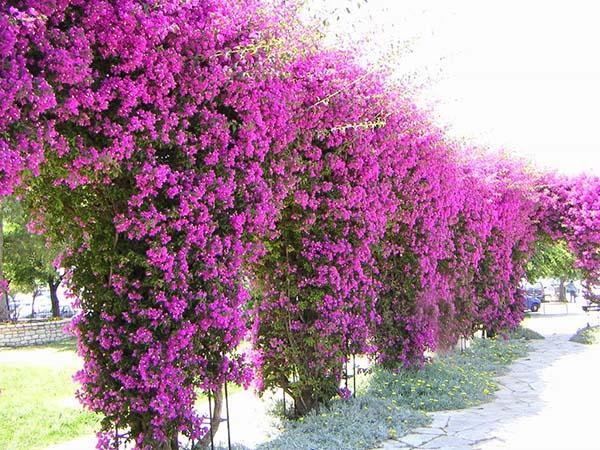 Ý nghĩa và cách chăm sóc hoa giấy sao cho ra hoa nhiều đẹp