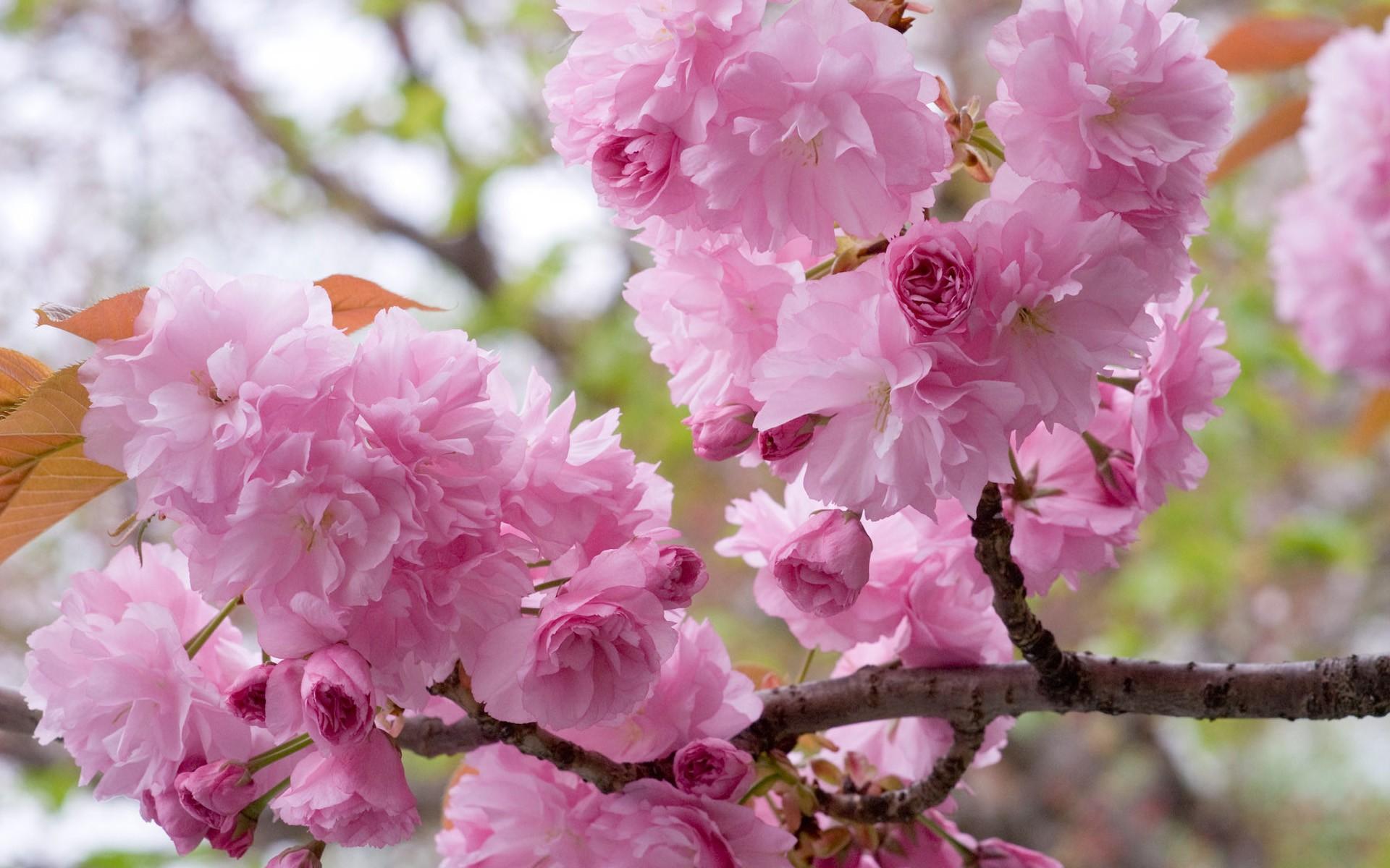 Ý nghĩa và sắc đẹp về loại hoa anh đào